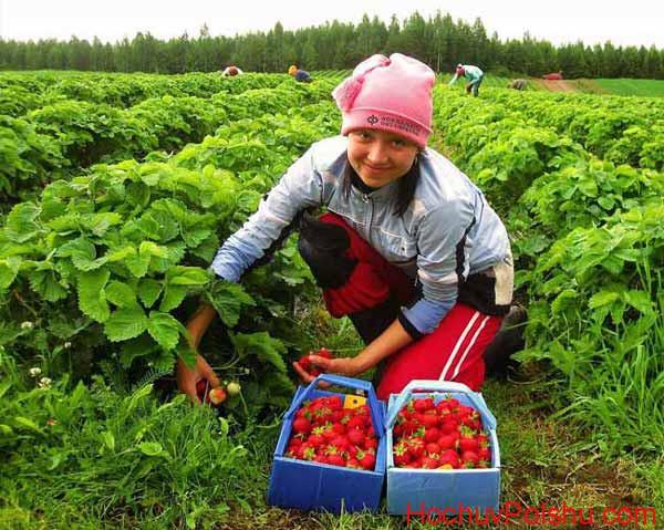 сезонная работа на сборе урожая овощей и фруктов