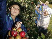 Сбор фруктов или овощей